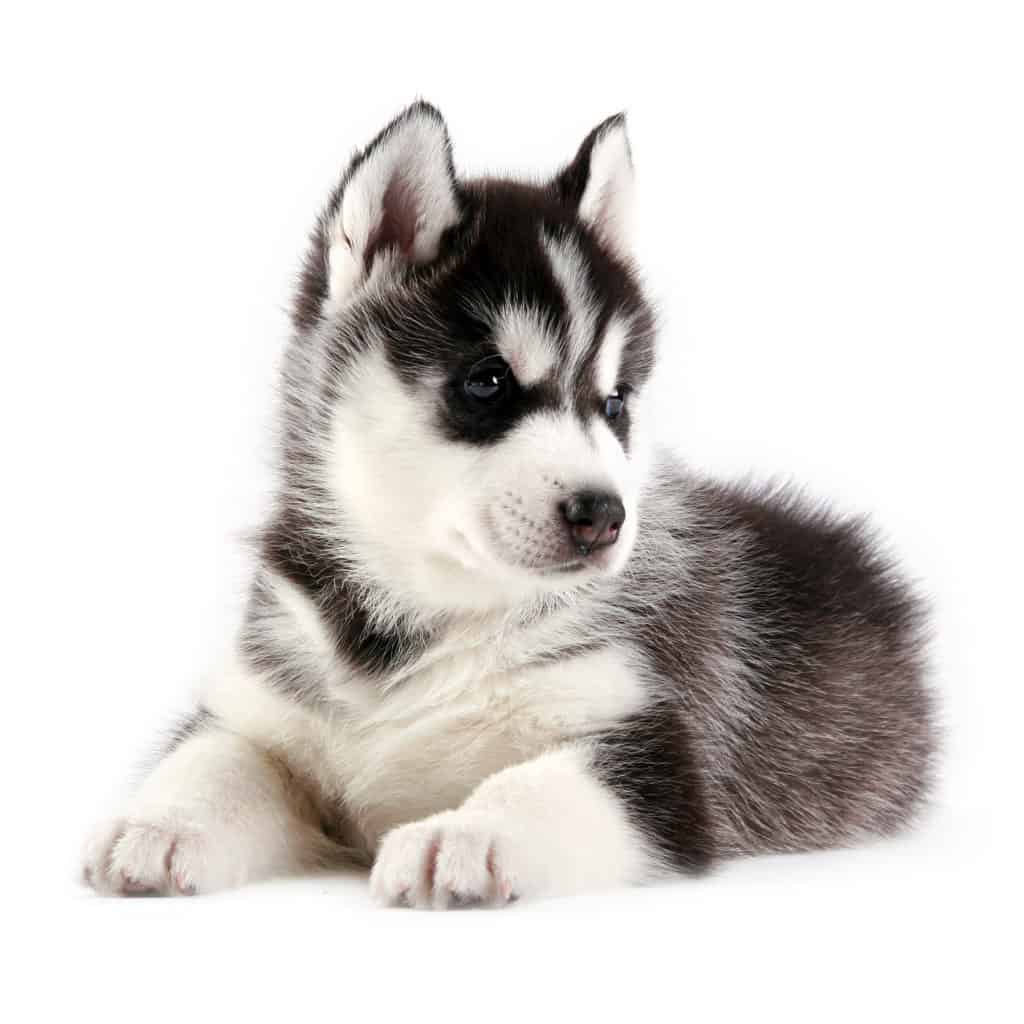 Husky Price Best Dog Food For Huskies And Puppies In 2019 Goodpuppyfood