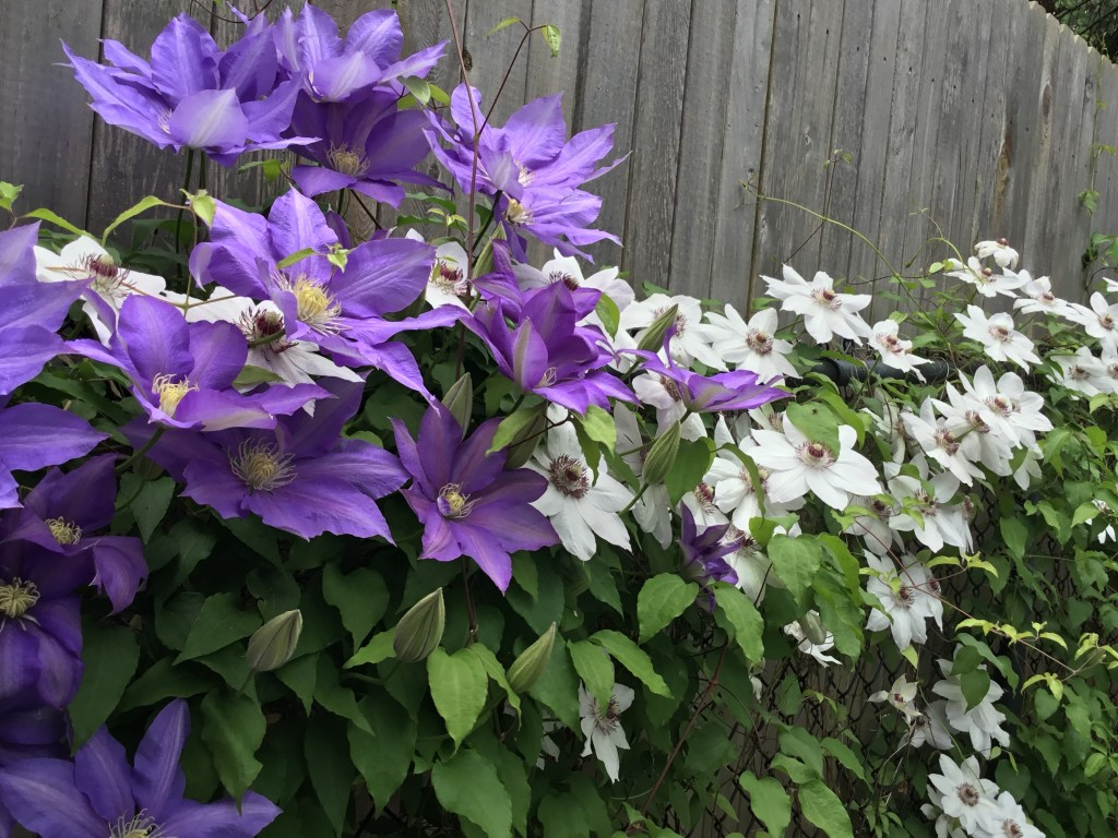 Wintergroene Clematis How To Care For Clematis Goodstuffathome