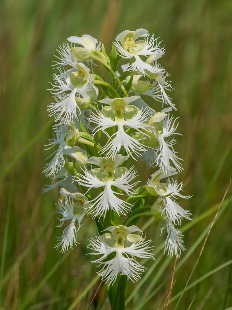 Range Hood Platanthera Praeclara (great Plains White Fringed Orchid