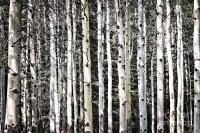 Aspen Tree Wall Art