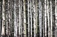 Aspen Tree Wall Art | Wall Art Ideas
