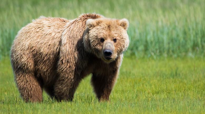 Cute Cubs Wallpaper Photographer In Alaska Grazing Grizzly Bears Gotscience Org