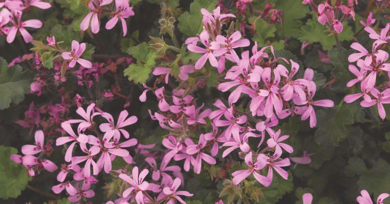 Culture Report Pelargonium \u0027Pinki Pinks\u0027 \u2013 Greenhouse Product News