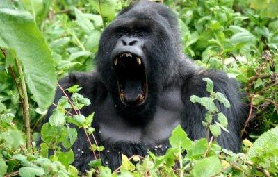 gorilla-safari-uganda-and-rwanda-s1