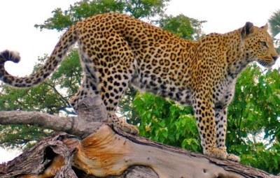 leopards-uganda-2