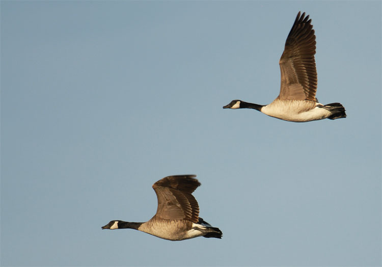 Art Gallery Stock Images Goose And Geese Photography