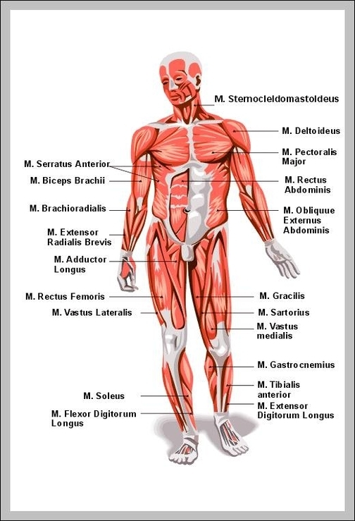 muscular system Graph Diagram Page 6