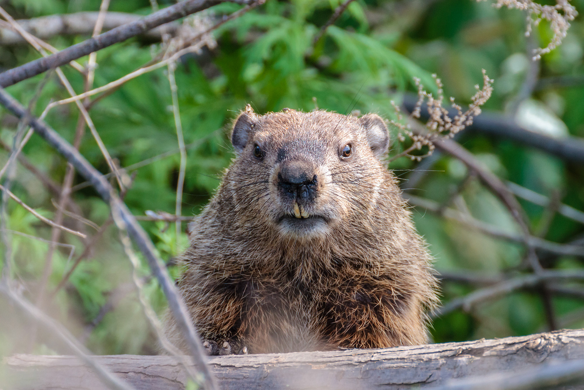 Groundhogs In Burrows Across The City It 39s Groundhog Day Year Round