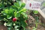 preschool-garden-strawberry-patch