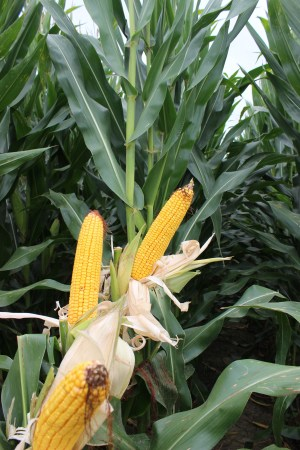 Great Heart Seed corn