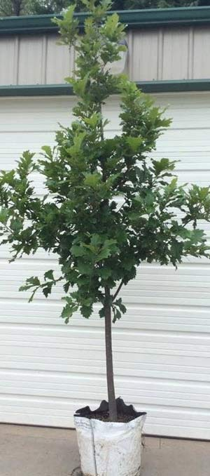 Nebraska Tree Nursery Highest Quality Trees  Shrubs!