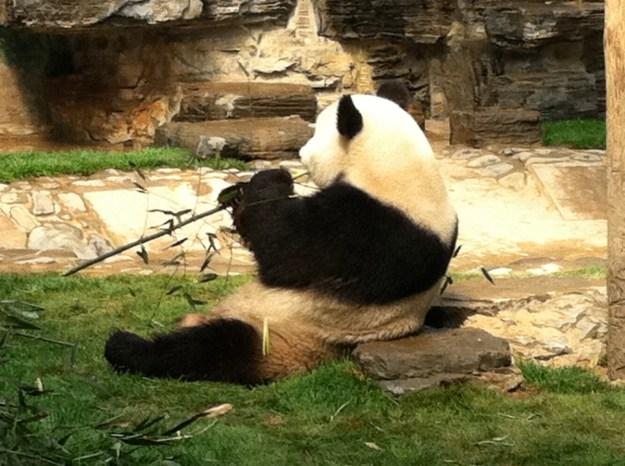 中国といえばやはりパンダでしょう!