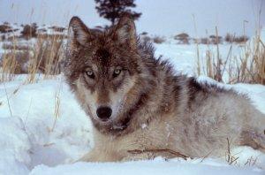 Yellowstone-wolf-wikicommon