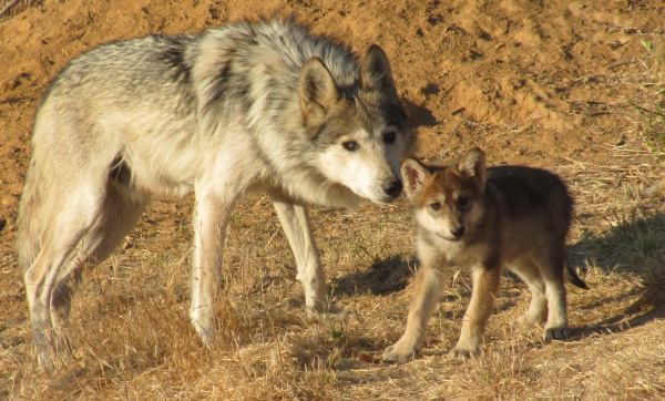 Into The Wild Quotes Wallpaper Mexican Gray Wolf Pups The Recovery Of A Species Green
