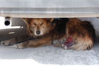 Injured_stray_dog