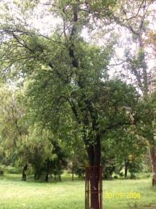 Santalum album-Tree
