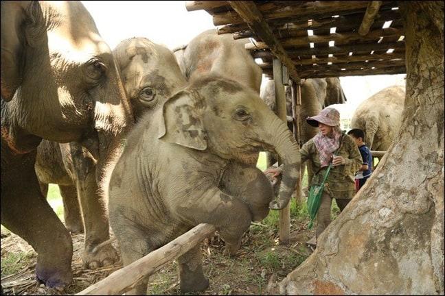 Baby Navann of Elephant Nature Park, Thailand