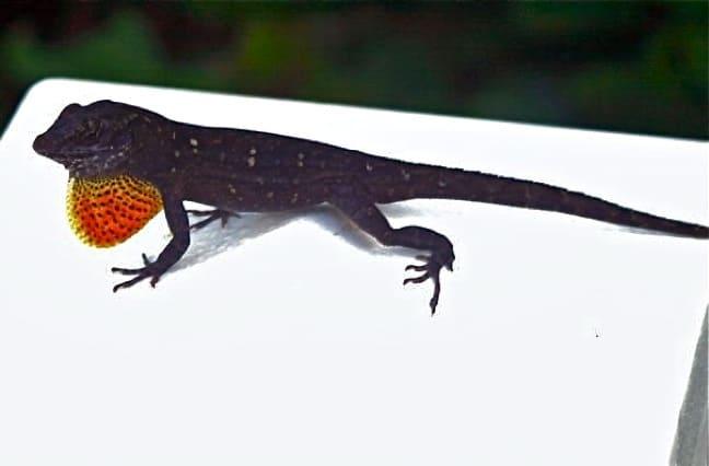 Anole Lizard in J.N. Ding Darling National Wildlife Refuge