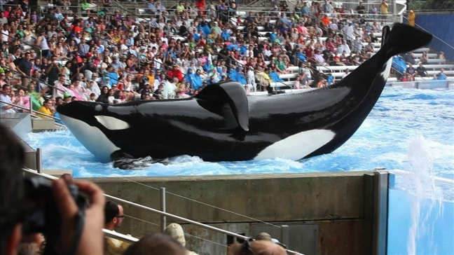 Tilikum Performing at Sea World