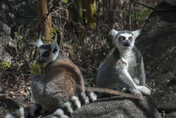 Madagascar_Animals_King_Julien_Ringtail_Lemurs
