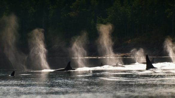 A Pod of Killer Whales in the Open Sea