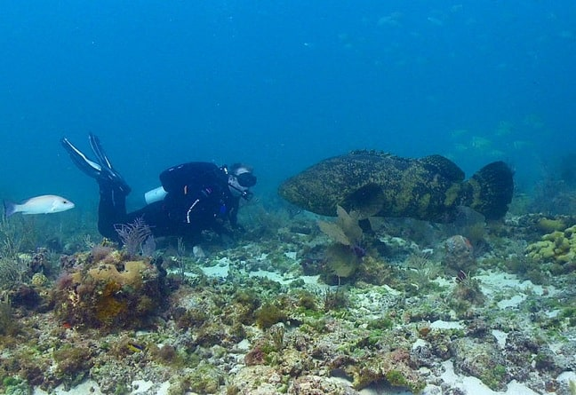 Atlantic Goliath Grouper by Brett Seymour
