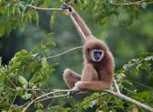 A gibbon in the wild where it belongs