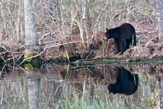 Black Bear reflection, Outer B anks, orth carolina
