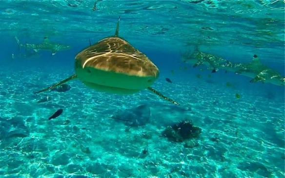 Snorkeling with black-tipped reef sharks and rays in Bora Bora.