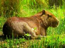 Capybara - the largest rodent in the world