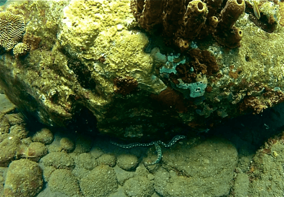 Eel at Champagne Reef, Dominica