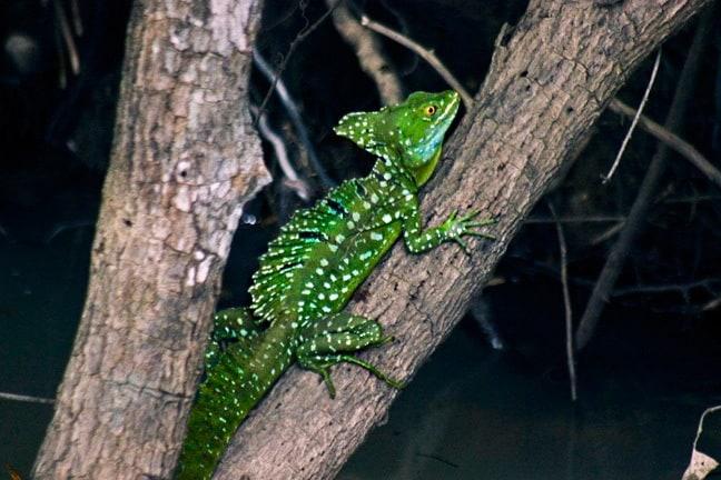 Jesus Christ Lizard in Cano Negro Wildlife Refuge