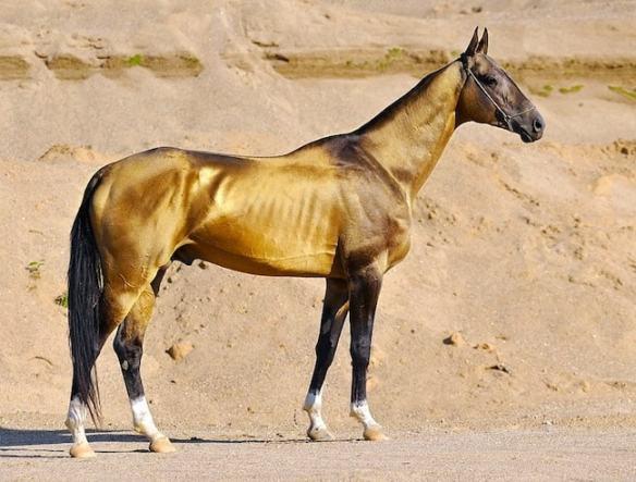 Akhal Teke Horse, by Artur Baboev via Creative Commons