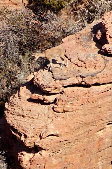 Rare Nubian Ibex in Dana Biosphere Reserve, Jordan