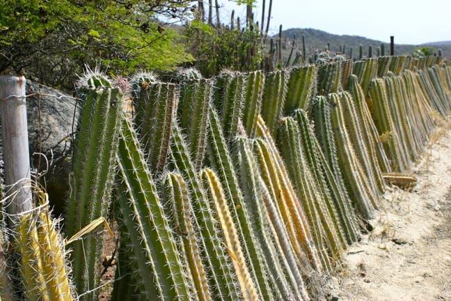 Cacti Fence in Aruba