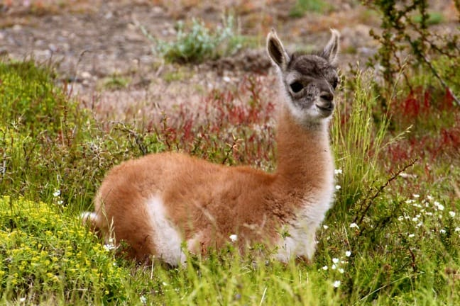 Baby Guanaco in Torres del Paine National Park, Chile