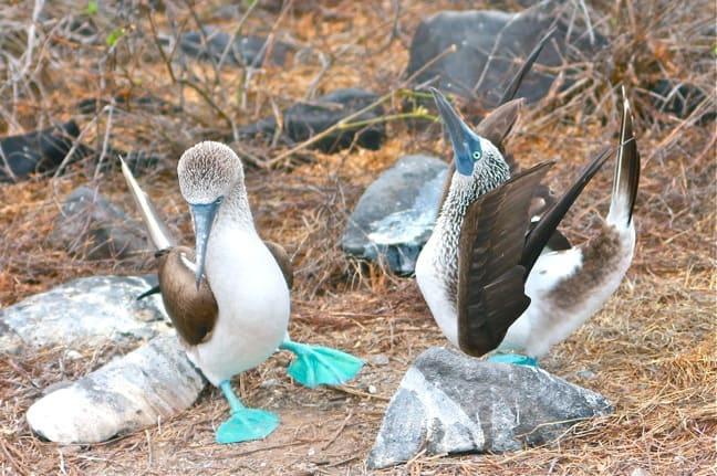 Blue Footed Booby Mating Dance on Española Island