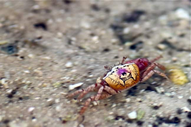 Fiddler Crab in J.N. Ding Darling National Wildlife Refuge
