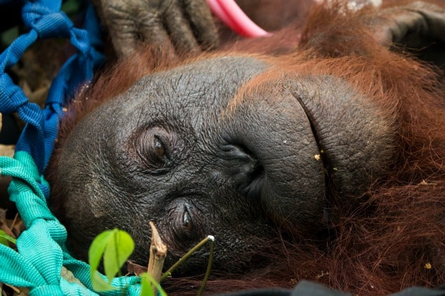 Fires in Indonesia orangutan rescue by International Animal Rescue