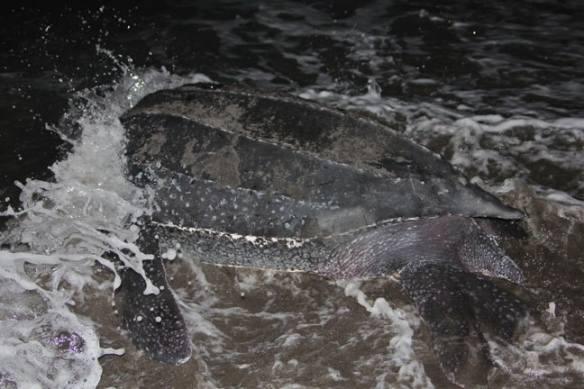 Leatherback Sea Turtle Returns To The Sea, Dominica