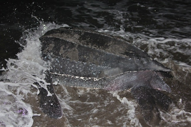 Leatherback Sea Turtle Returns To The Sea, Dominica