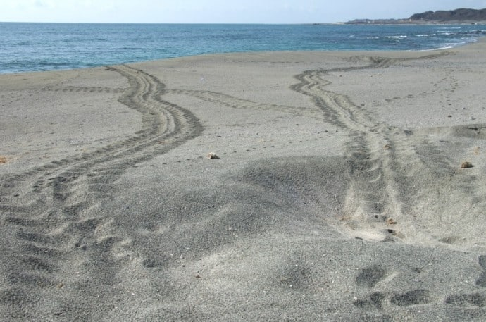 Masirah Island Sea Turtle Tracks