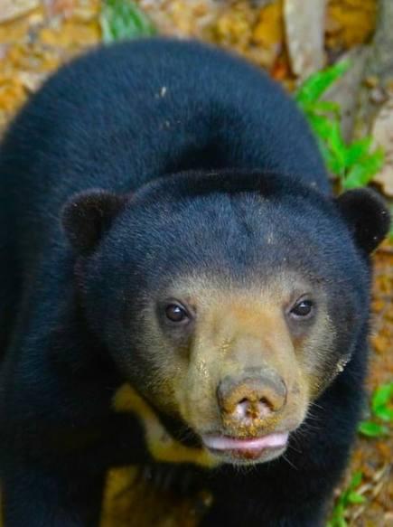 Sun Bear Cub at Borneo Sun Bear Conservation Centre