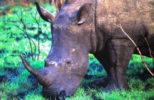 #JustOneRhino, a fundraising campaign to save rhinos in South Africa with Rhinos Without Borders