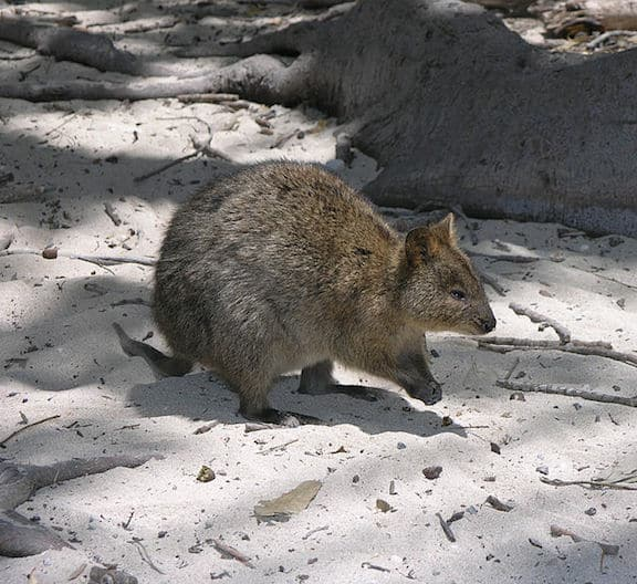 Weird Animals, Quokka