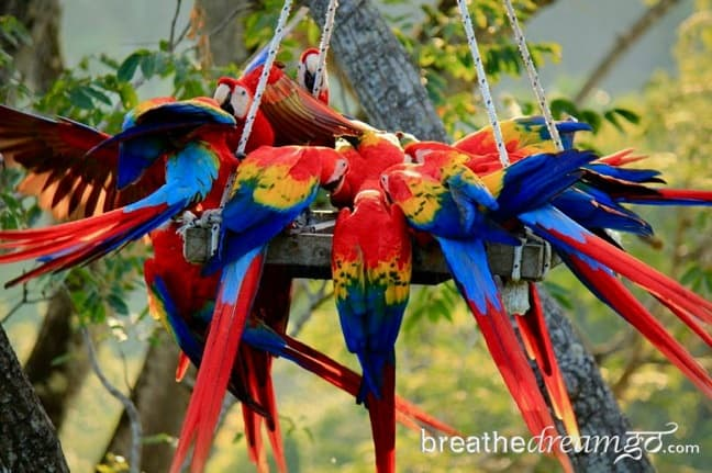 Scarlet Macaws at the ARA Project in Punta Islita