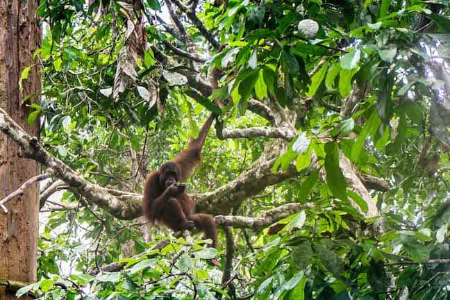 Sepilok Orangutan Rehabilitation Center in Sabah, Borneo