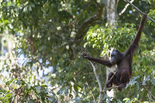 Baby Bornean Orangutan at Sepilok Rehab Centre in Malaysia