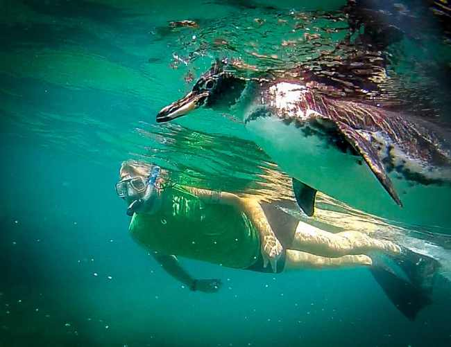 Bret Love of Green Global Travel Swimming with Galapagos Penguins