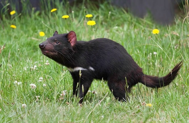 Maria Island Tasmanian Devil Photo by JJ Harrison via Creative Commons